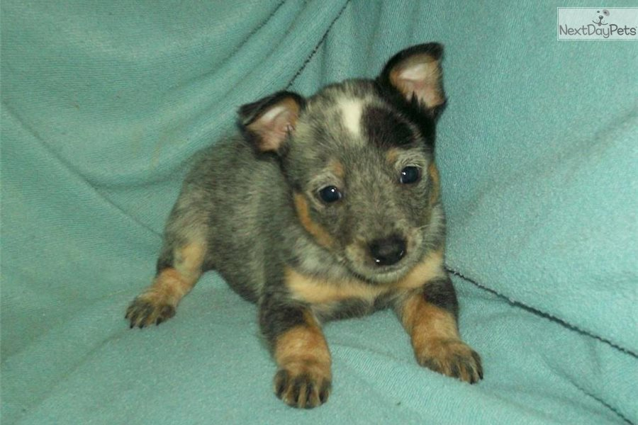 Blue Heelers For Sale : Flax female #1: australian cattle dog blue heeler puppy for sale