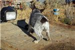 Picture of Chocolate larger mini Queensland Heeler male