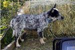 Picture of Mini queensland Blue Heeler