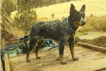 Picture of mini Queensland Blue Heeler male