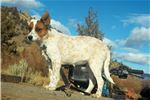 Picture of mini red heeler female