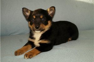 Picture of Heeler Kelpie