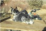 Picture of larger mini Queensland Heeler male