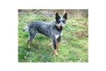 Picture of a Queensland Heeler Puppy