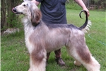Picture of an Afghan Hound Puppy