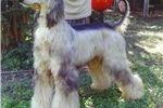 Afghan Hound Puppies for Sale from Reputable Dog Breeders