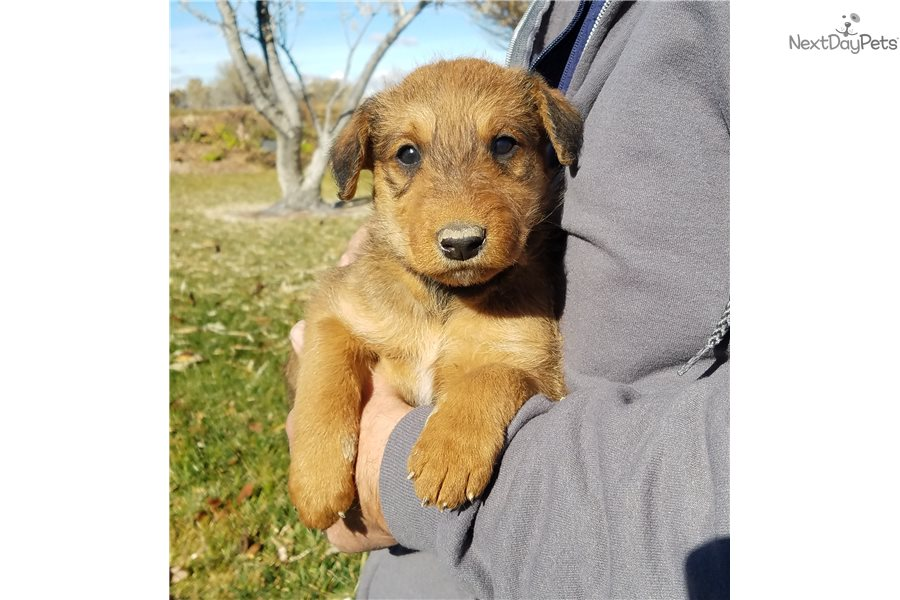 Airedale Terrier puppy for sale near Twin Falls, Idaho