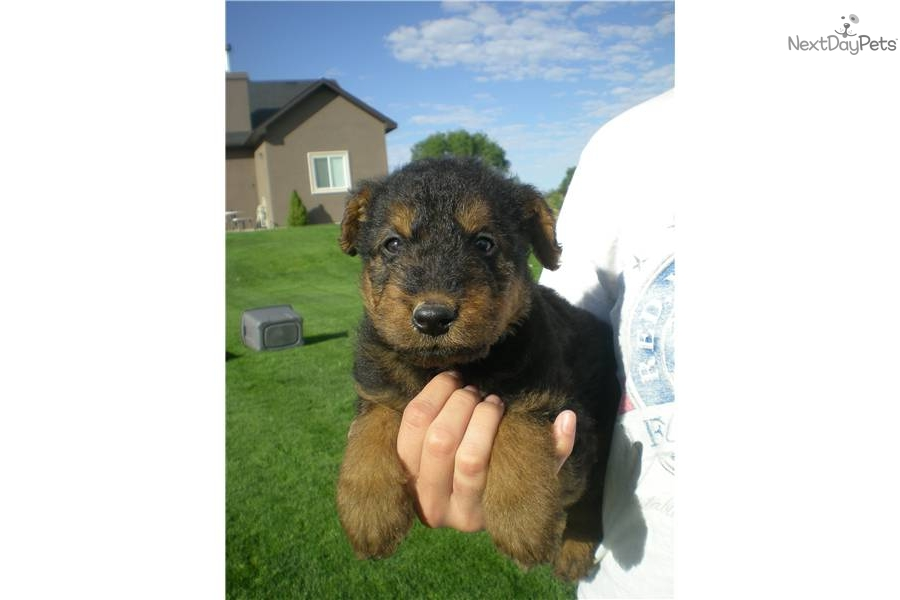 Airedale Terrier puppy for sale near Twin Falls, Idaho ...