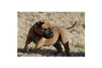 Picture of a Bullmastiff Puppy