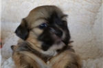 Featured Breeder of Lhasa Apsos with Puppies For Sale