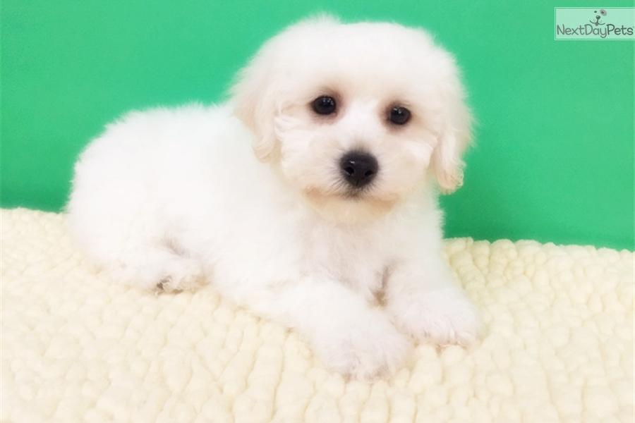 Bichon : Bichon Frise puppy for sale near New York City, New