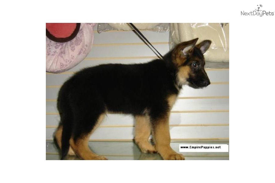 Pictures Of German Shepherd Dogs For Sale