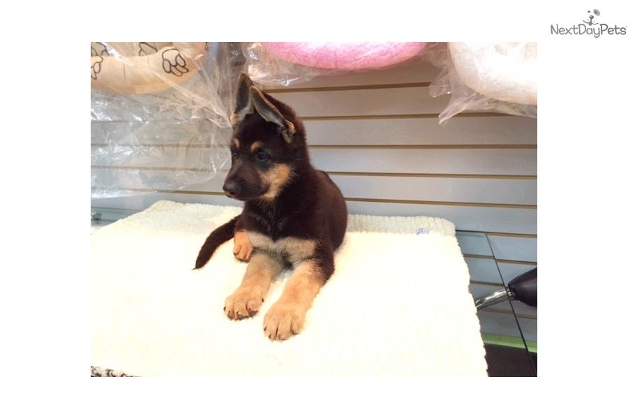 German Shepherd puppy for sale near New York City, New