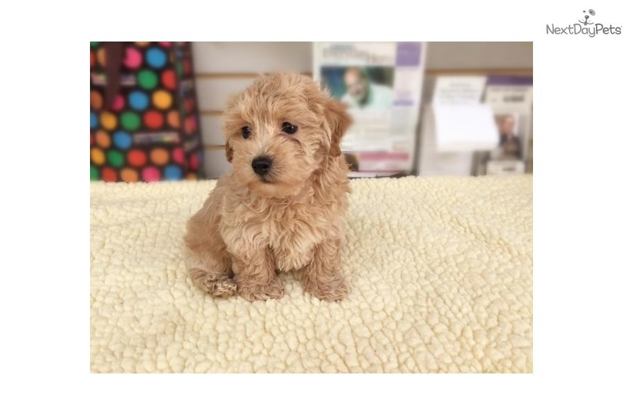 Malti Poo Maltipoo Puppy For Sale Near New York City New York