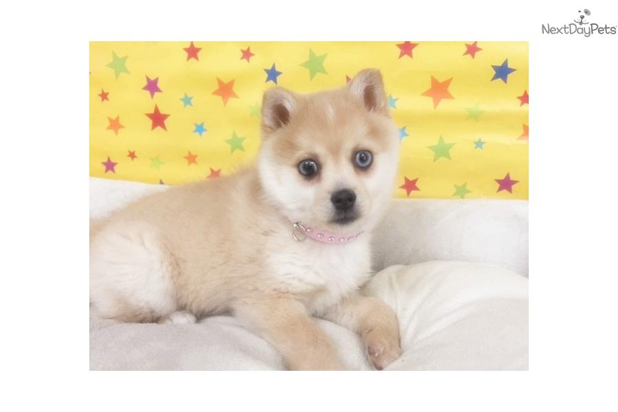 Pomsky Puppy: Pomsky puppy for sale near New York City