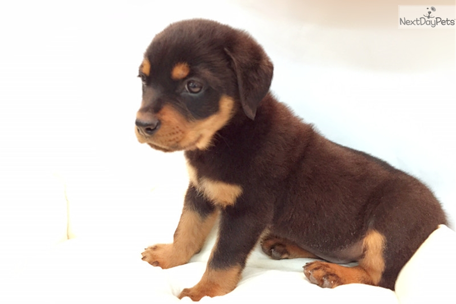 Rotti: Rottweiler puppy for sale near New York City, New