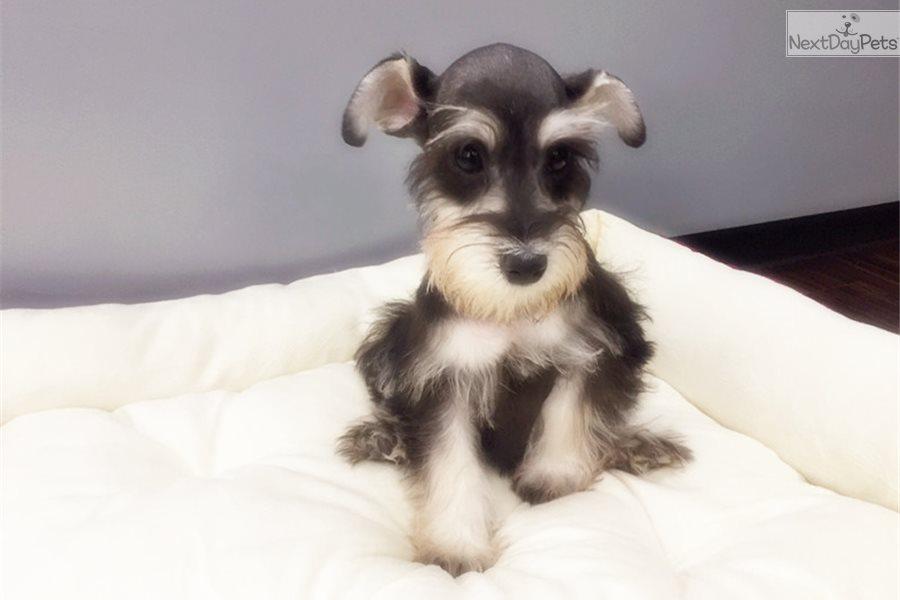 Schnauzer, Miniature puppy for sale near New York City, New York