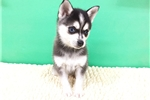 Alaskan Klee Kai, www.EmpirePuppies.net | Puppy at 9 weeks of age for sale