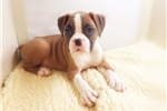 Boxer (Empire Puppies 718-321-1977) | Puppy at 9 weeks of age for sale