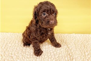 Picture of Cockapoo