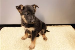 German Shepherd | Puppy at 9 weeks of age for sale