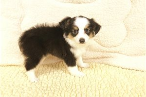 Toy Aussie | Puppy at 8 weeks of age for sale