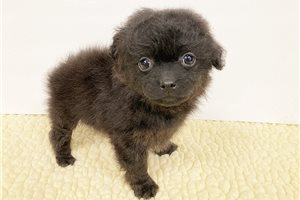 Pomapoo | Puppy at 8 weeks of age for sale