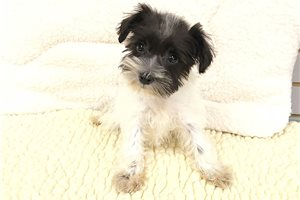 Schnoodle | Puppy at 8 weeks of age for sale