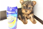 Yorkie  (Empire Puppies 718-321-1977) | Puppy at 9 weeks of age for sale