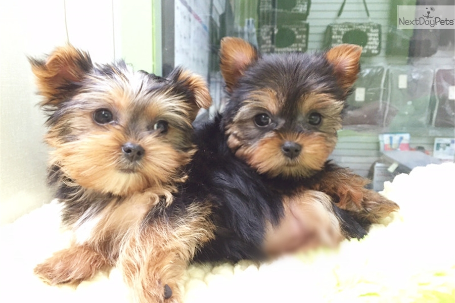 Yorkie: Yorkshire Terrier - Yorkie puppy for sale near New