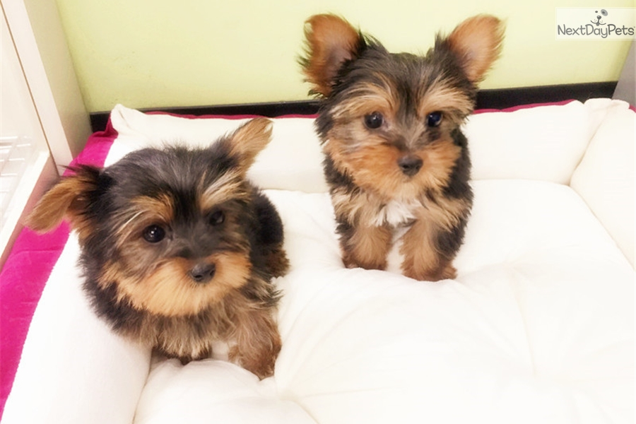 Yorkie: Yorkshire Terrier - Yorkie puppy for sale near New York City ...