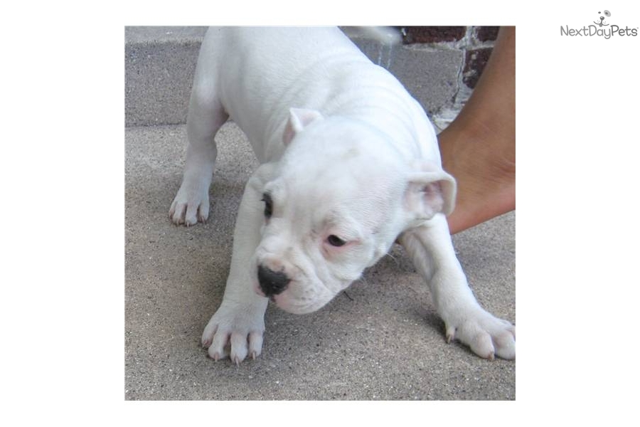 female american bulldog names female american bulldog puppies pictures to pin on 2345