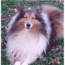 View full profile for Wynata Shelties