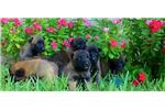Picture of AKC registered Belgian Malinois puppy