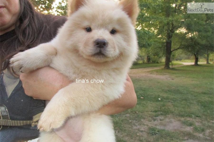 Chow Chow puppy for sale near Springfield, Missouri