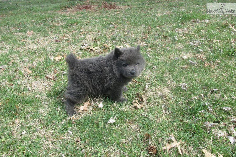 Sammy: Chow Chow puppy for sale near Springfield, Missouri