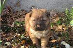 Picture of red male ori pei puppy