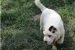 Picture of black/white male ori pei puppy