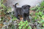 Picture of black female ori pei puppy