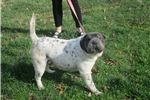Picture of black/white male shar pei puppy