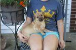 Picture of male ori pei puppy