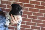 Picture of female ori pei puppy