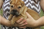 Picture of red/fawn male ori pei puppy