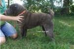 Picture of akc blue/white male shar pei puppy