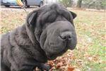 Picture of black female ori pei puppy-sasha