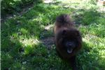 Picture of blue female chow puppy-joy