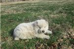 Picture of cream male chow puppy