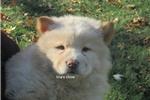 Picture of dark cream female chow puppy