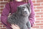 Picture of blue male chow puppy