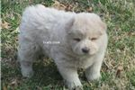 Picture of cream female chow puppy